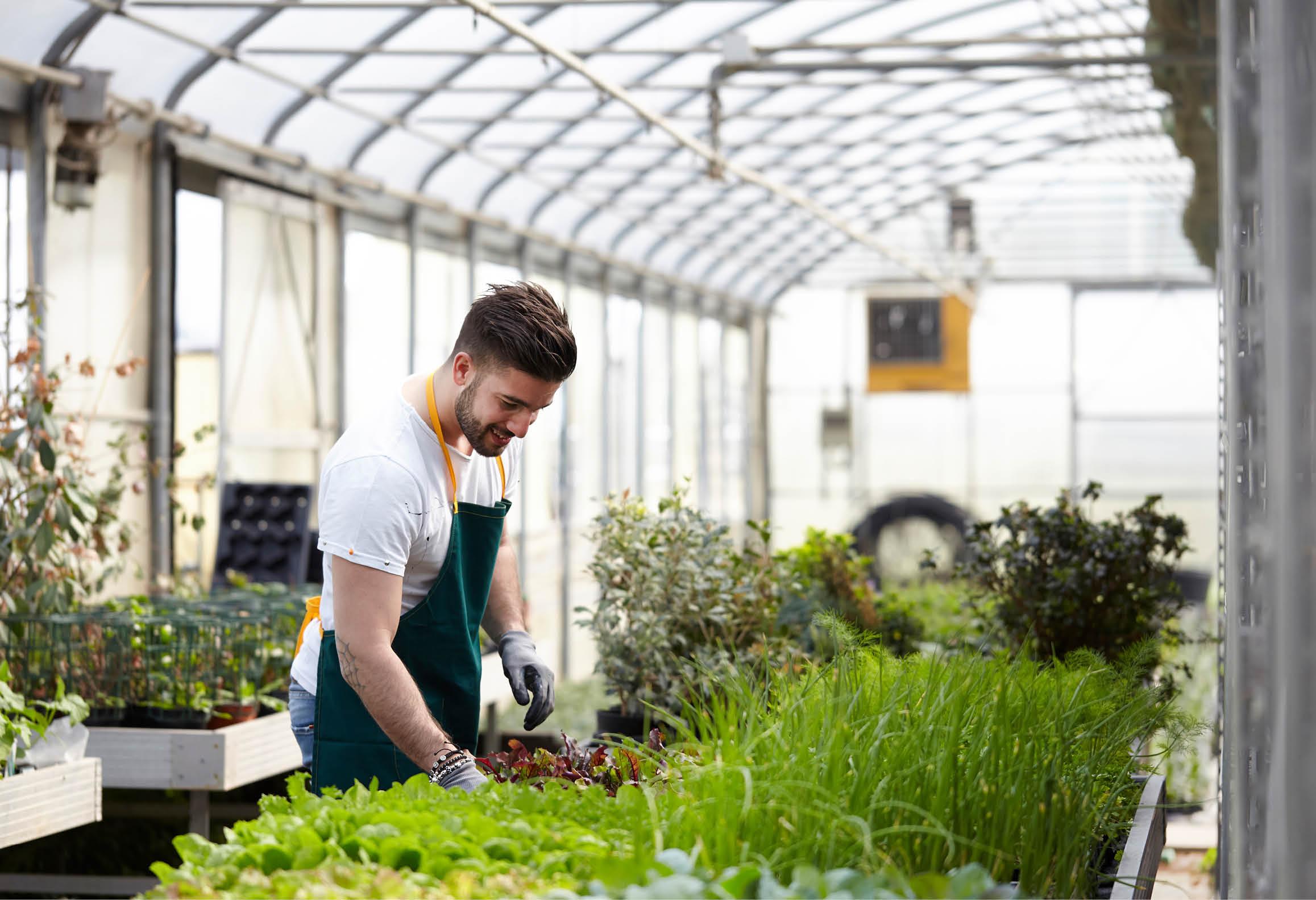 Växthusodlare som sköter grönsaksodling