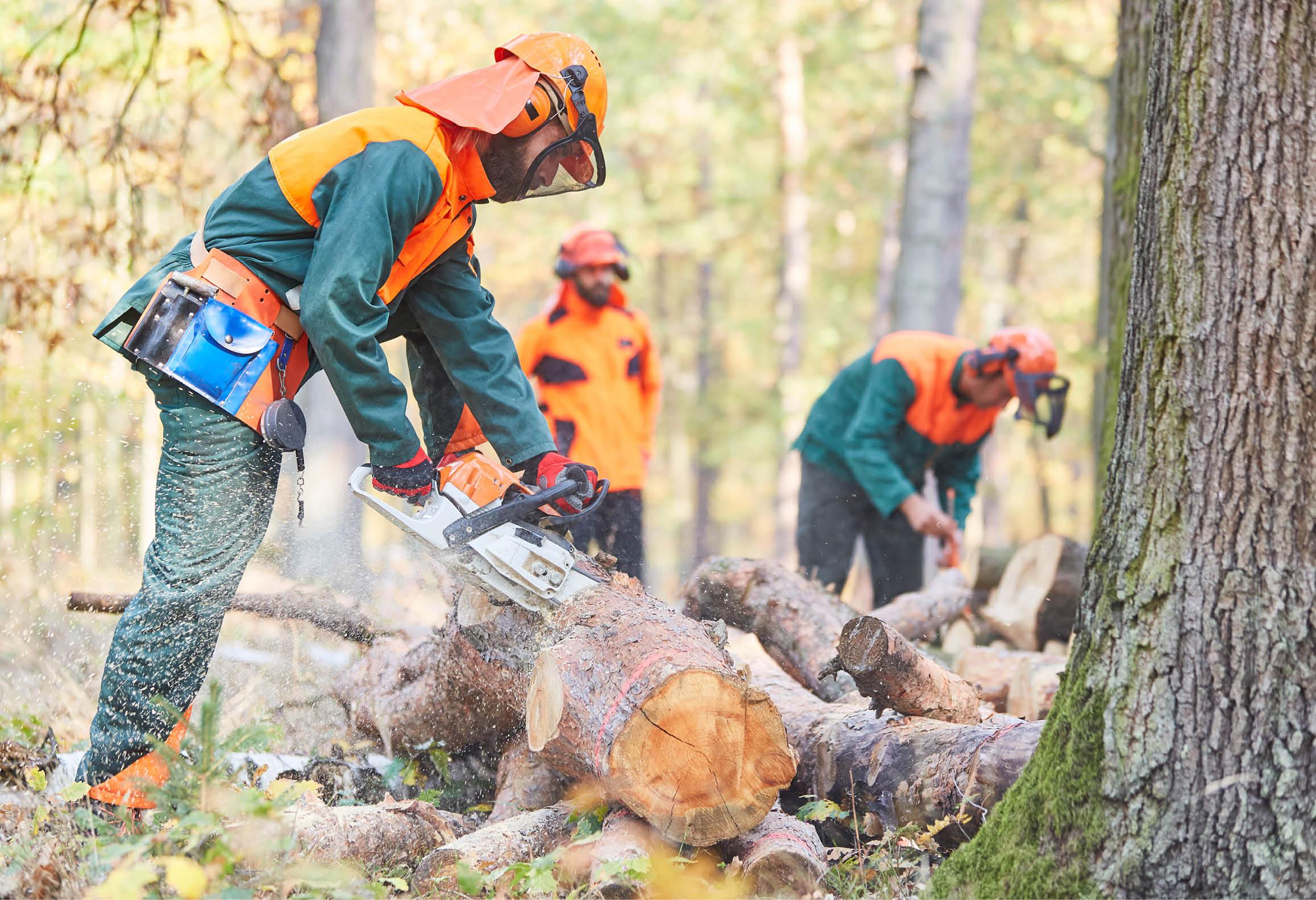 Skogsarbetare som kapar träd med motorsåg