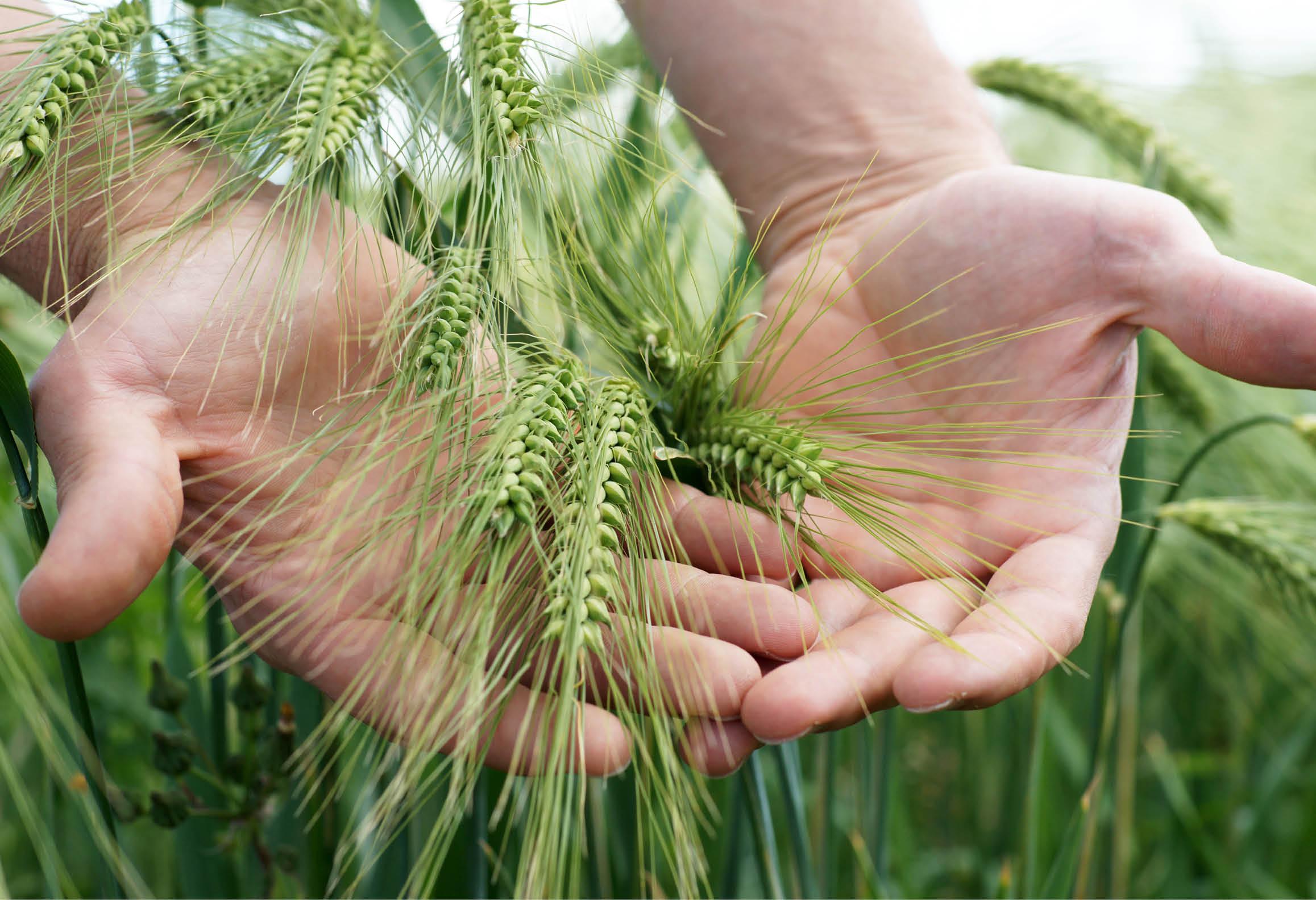 Händer som håller fram sädesslaget korn