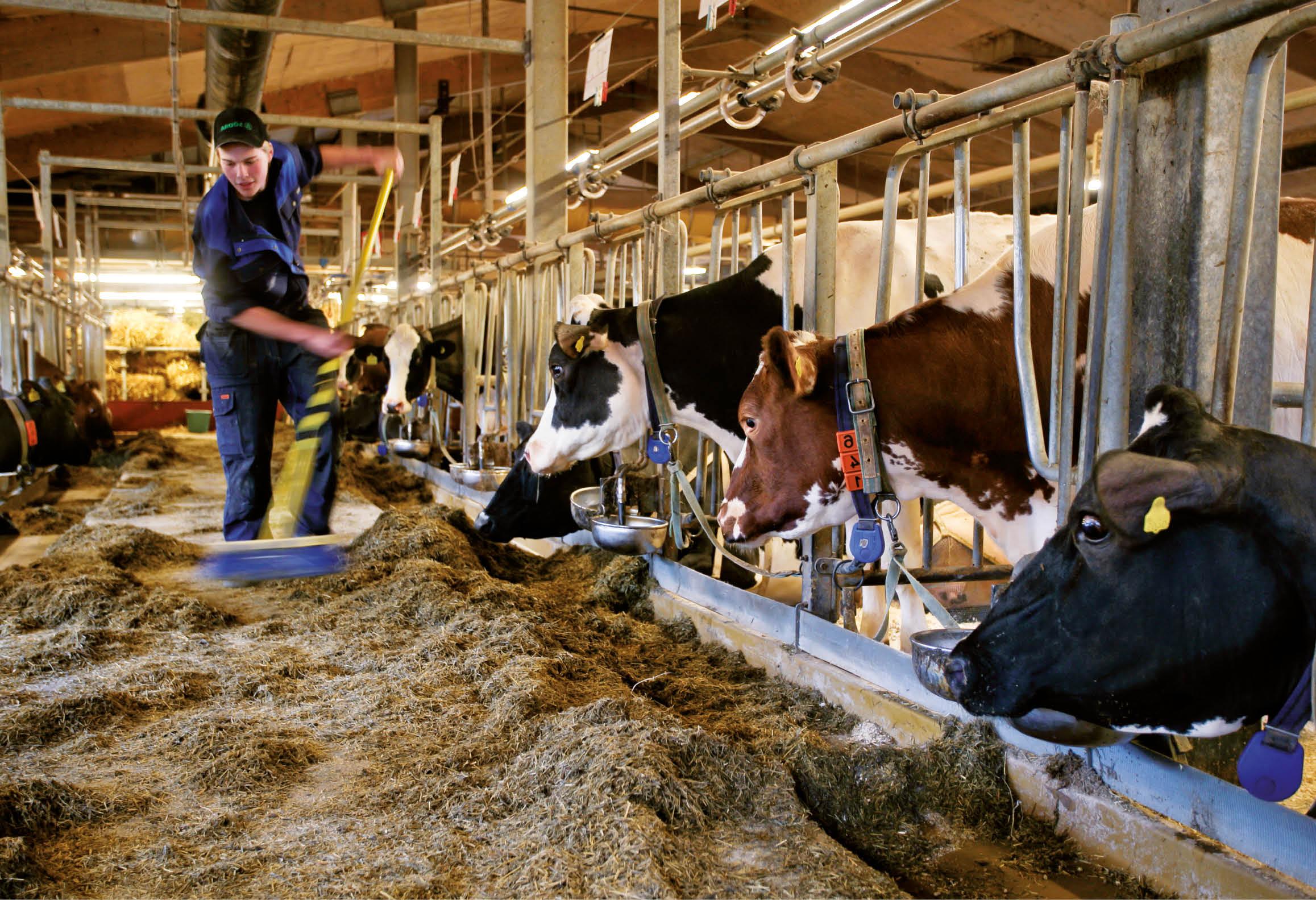 Lantbrukare utfodrar kor i ladugård