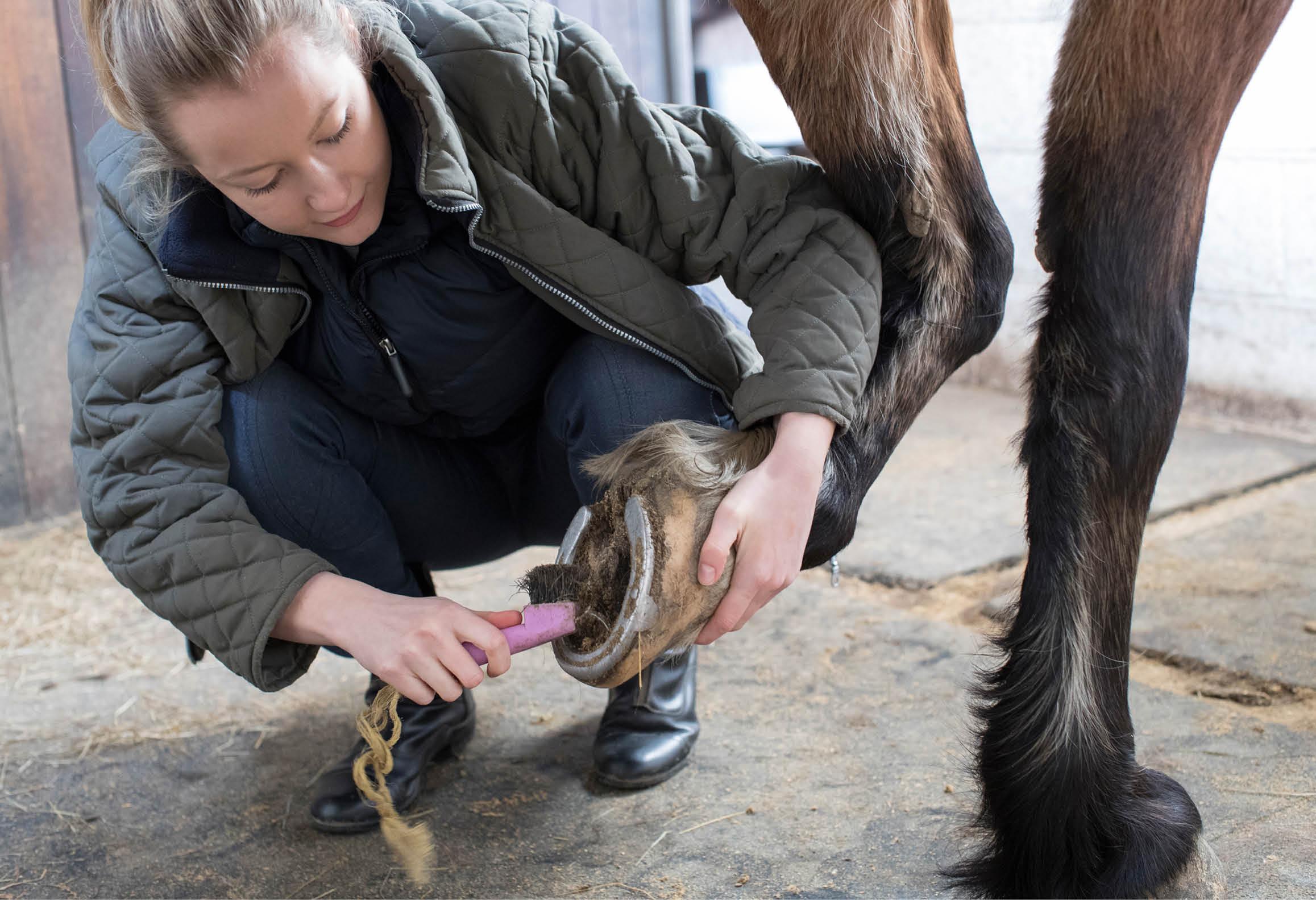Hästskötare kratsar en hästhov
